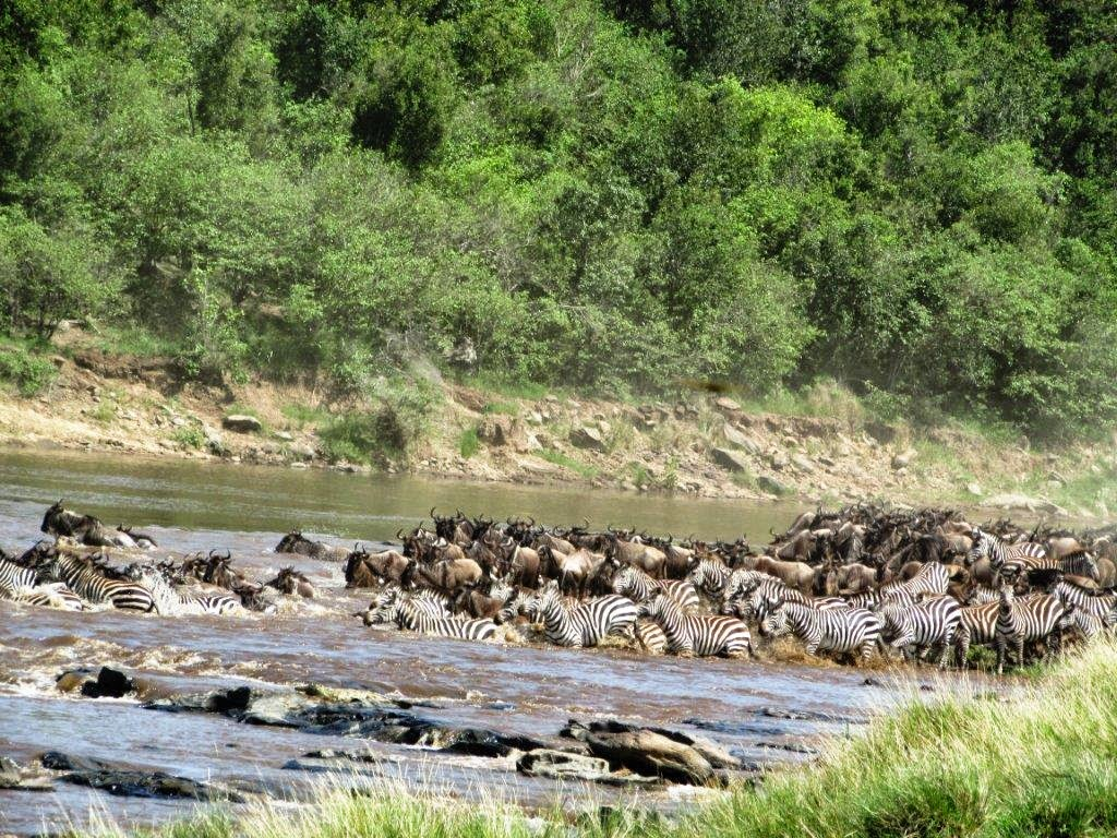 The Wildebeest Migration Endures: Maasai Mara Wildlife Update