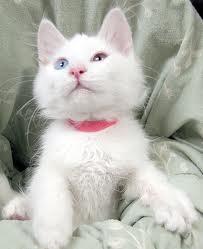 Gambar Kucing Angora Xtra Two