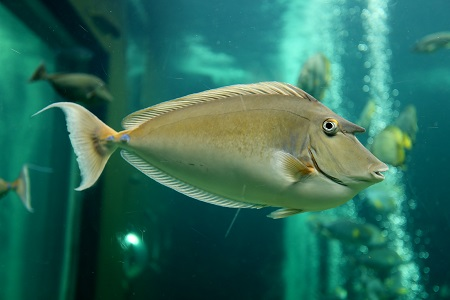 Brown unicornfish