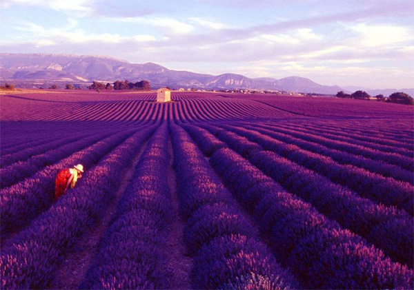 The fields of purple blooms in Provence, France