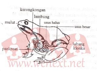 Sistem Pencernaan Makanan Pada Hewan