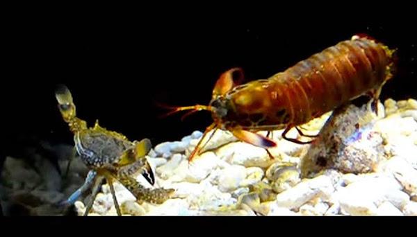 Crab tries to evade the Mantis Shrimp's powerful attacks.