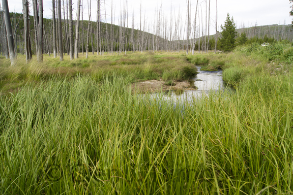 Grass, stream, and trees in valley near Beaver Lake, Yellowstone National Park