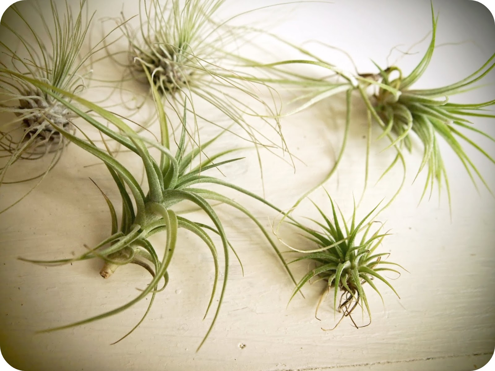 Dear winsome air plants antiques for Plants that require no maintenance