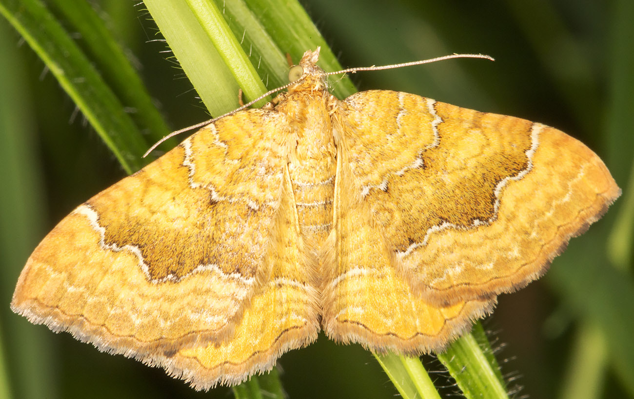Yellow Shell, Camptogramma bilineata.  Geometridae.  High Elms Country Park, 10 June 2014.