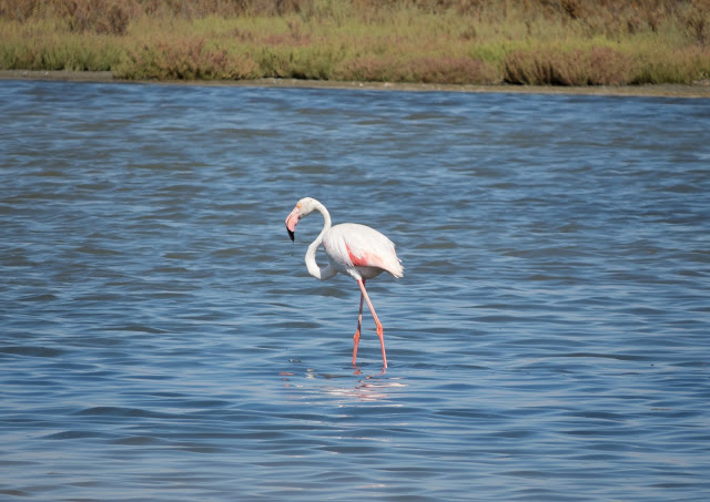 Greater Flamingo - Spain