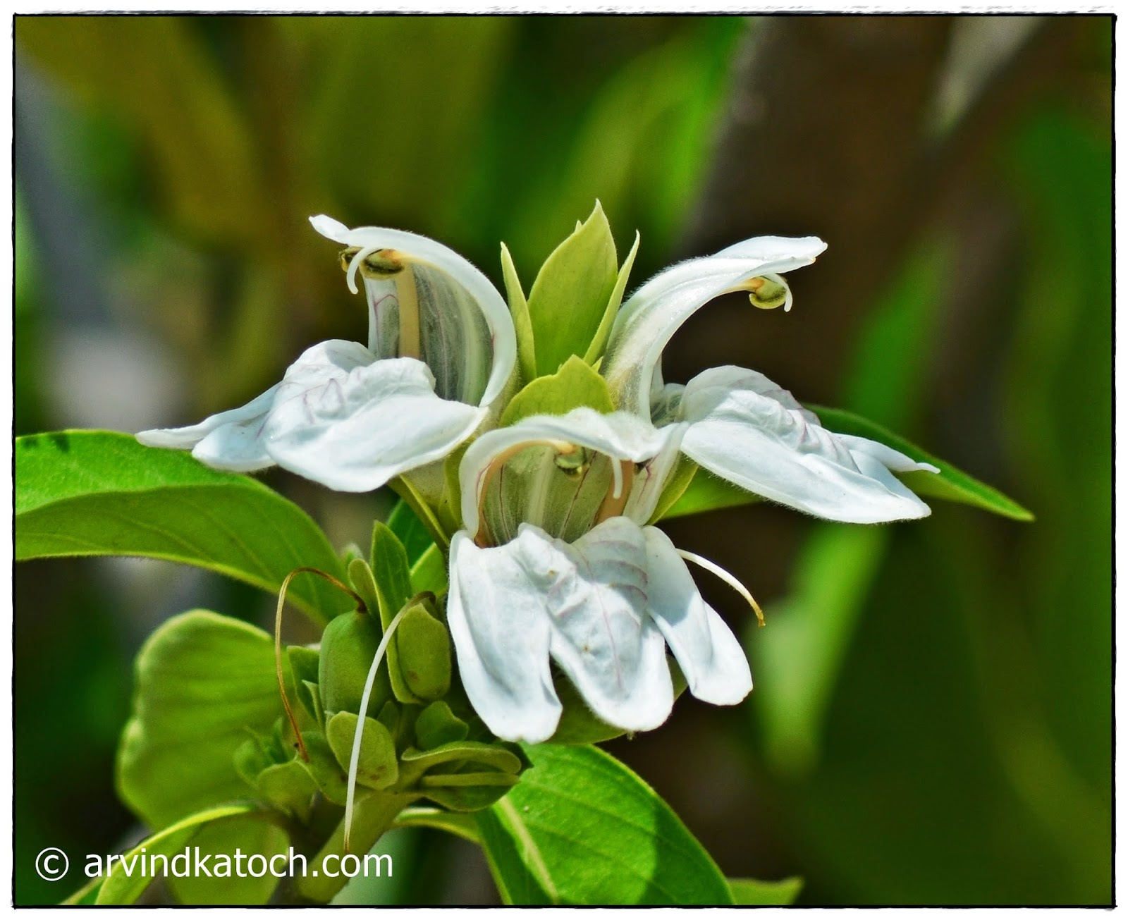 Beautiful White flower, Flower,