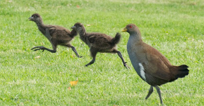Tasmanian Native-hen (Tribonyx mortierii)