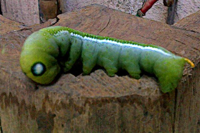 long fat green caterpillar with huge eyes