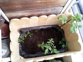 bac de jardin remplit de tomates et pommes de terre