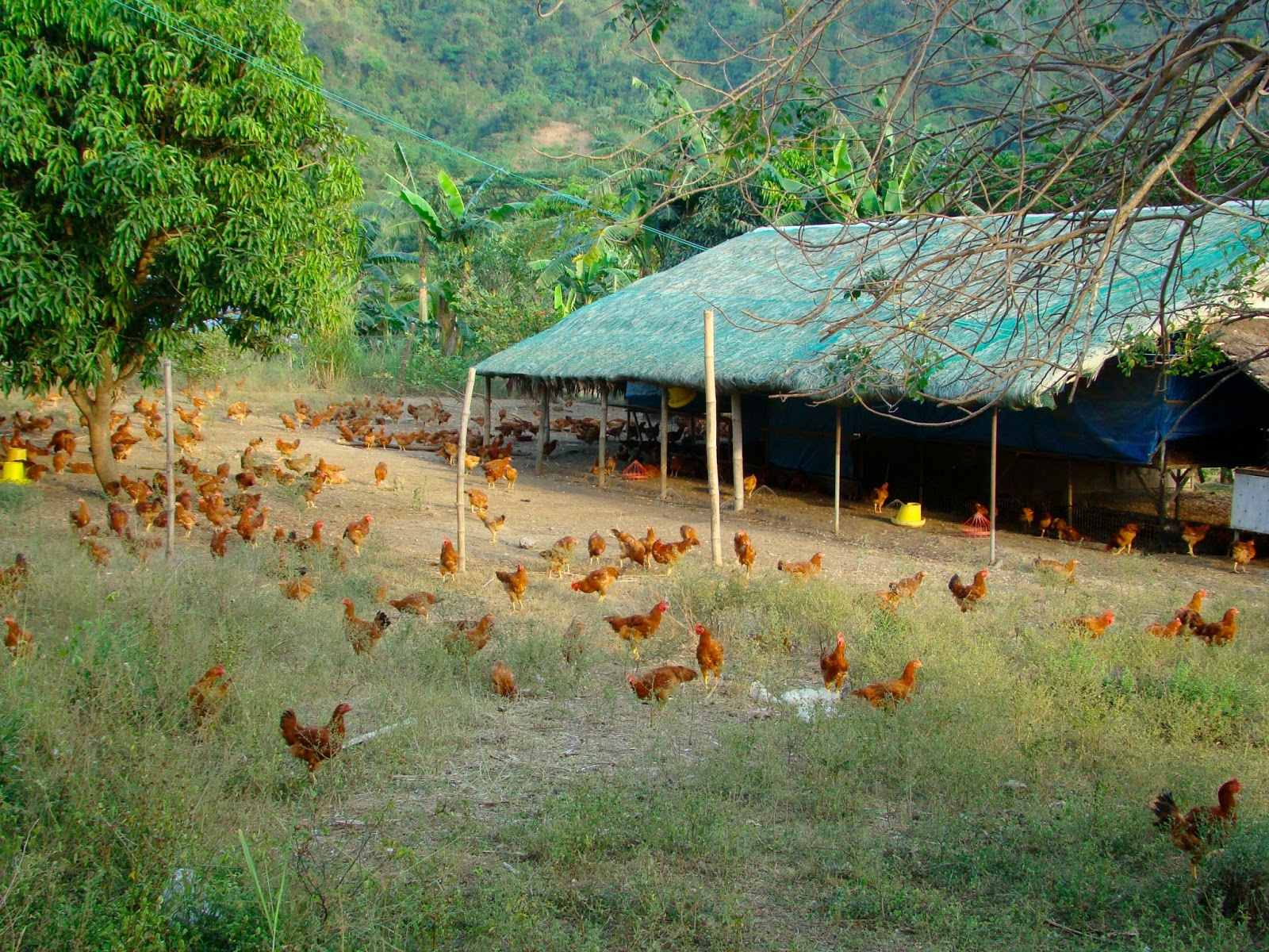 Pamorafree-range chickens come from a coloured breed from France  This    Free Range Farm Chickens