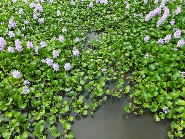 茎の根元が膨らみ、浮き袋として池にぷかぷかと浮かんでいる。