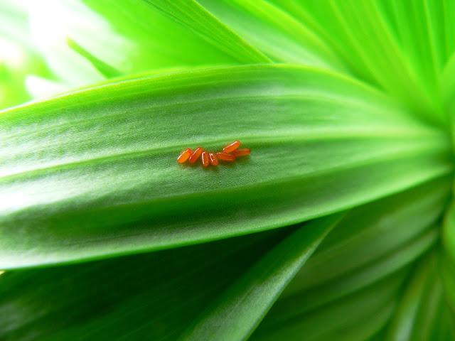 Lilioceris lilii egg
