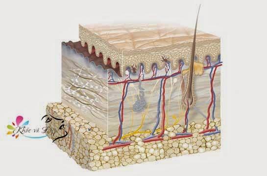Cấu trúc và chức năng của da