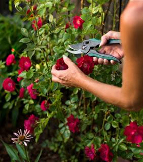 Fungsi Bunga Mawar