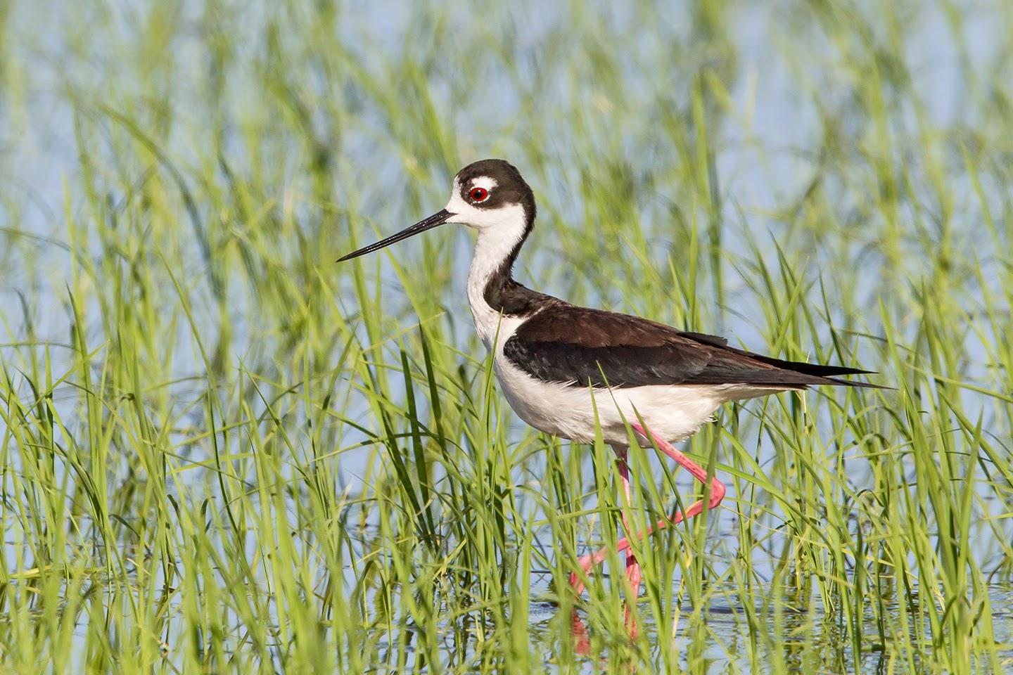 California Rice Growers welcome opportunity to help Waterbirds