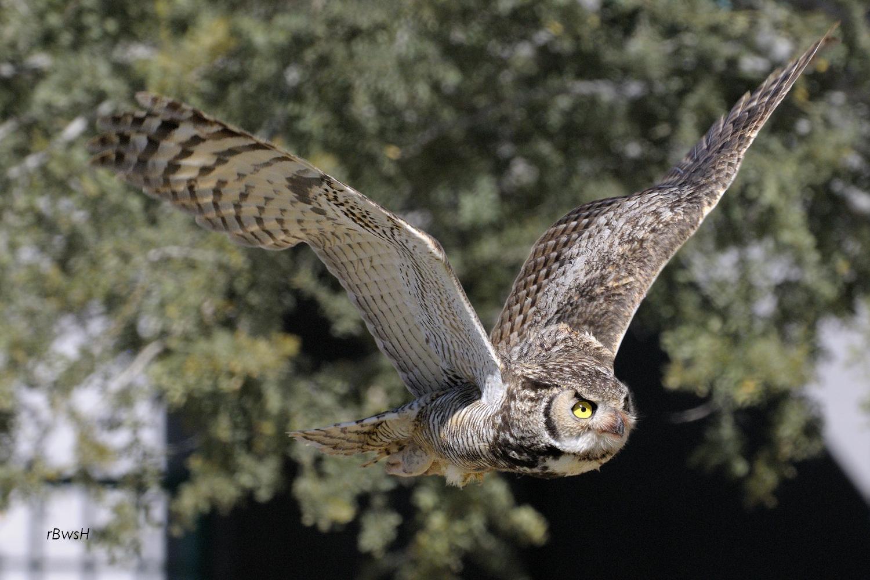 Great Horned Owl Flying Tattoo Flying Horned Owl Tatt...