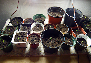 Repotted Tomatoes on Desk with Grow Lights