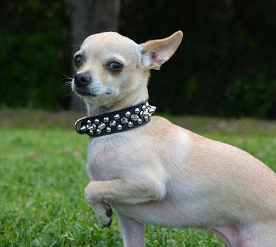 Chihuahua spikes