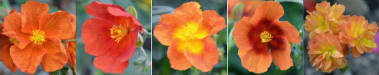 Abriachan Nurseries Helianthemums - Rock Roses
