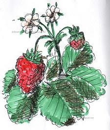 Projekt Erdbeeren auf der Fensterbank