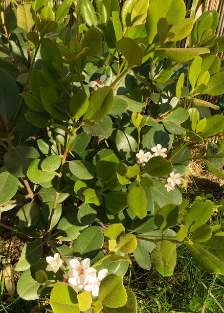Raphiolepsis - Falsa rosellina