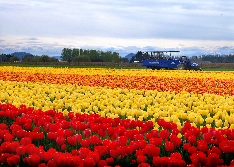 http://4.bp.blogspot.com/-IwbvHguMxAg/Td6CalyX3II/AAAAAAAABt0/ISrQc4Tt4CU/s1600/tulip_6.jpg