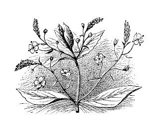 Digital Image Transfer Flower Brooklime