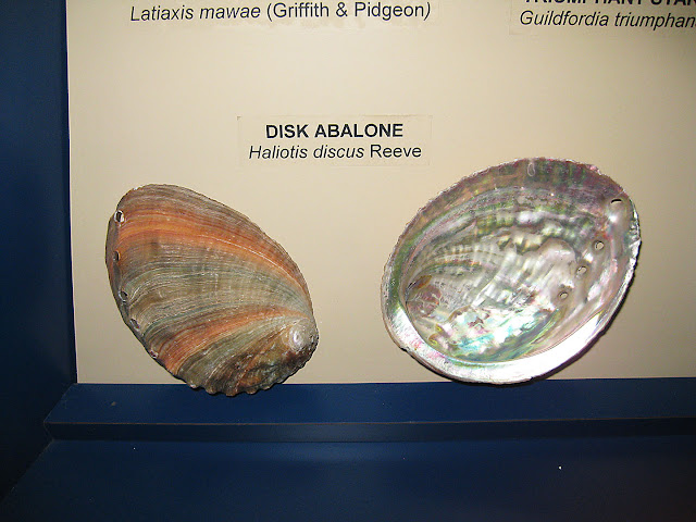 Shells from Japan, abalone