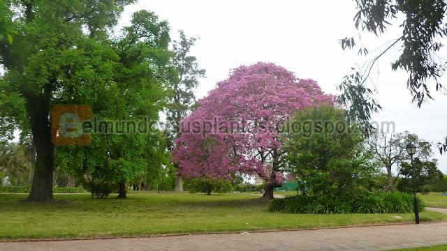 Árbol de Lapacho Flores Rosadas