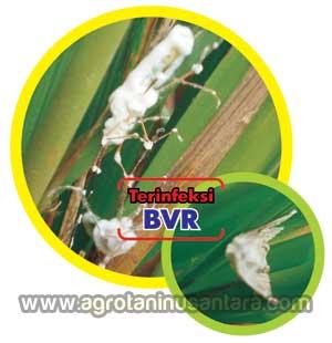 Infeksi Natural BVR terhadap Hama Tanaman Walang Sangit dan Kutu