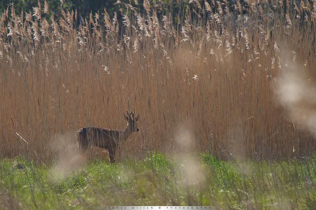 Ree staat verscholen tussen het riet - Roe Deer hidden in the reed
