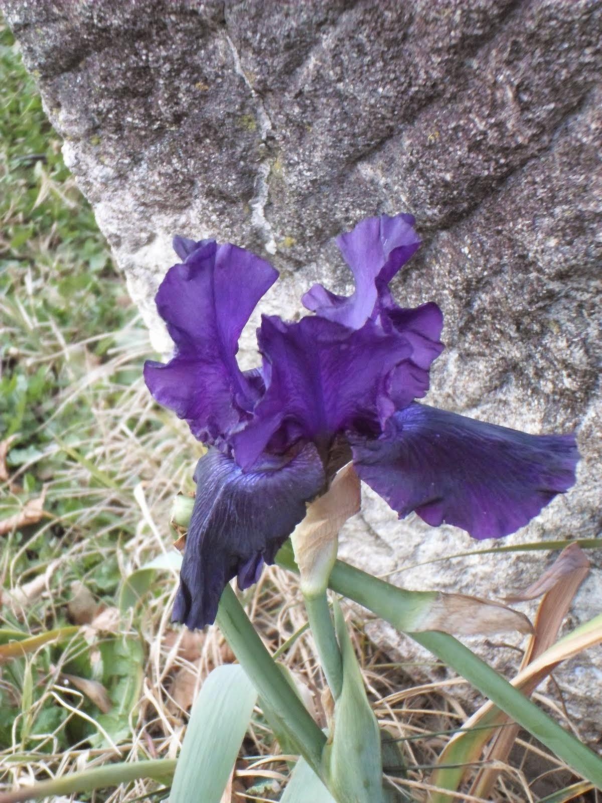 Iris du 29 décembre 2014. Il gèle.