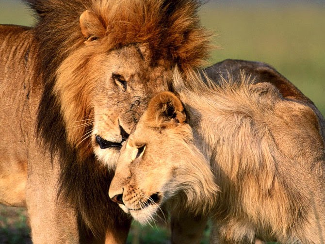 http://funkidos.com/pictures-world/wild-life/lions-love