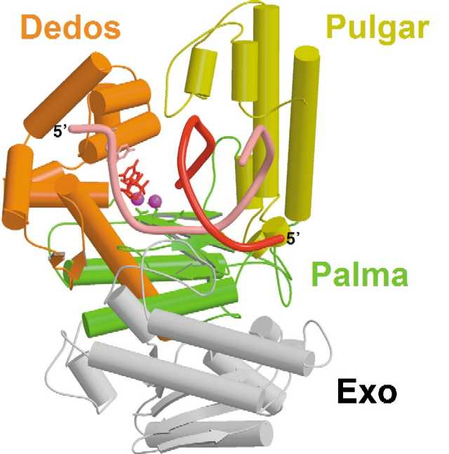 Replicación del ADN con una fidelidad extraordinaria: conozca la ADN ...