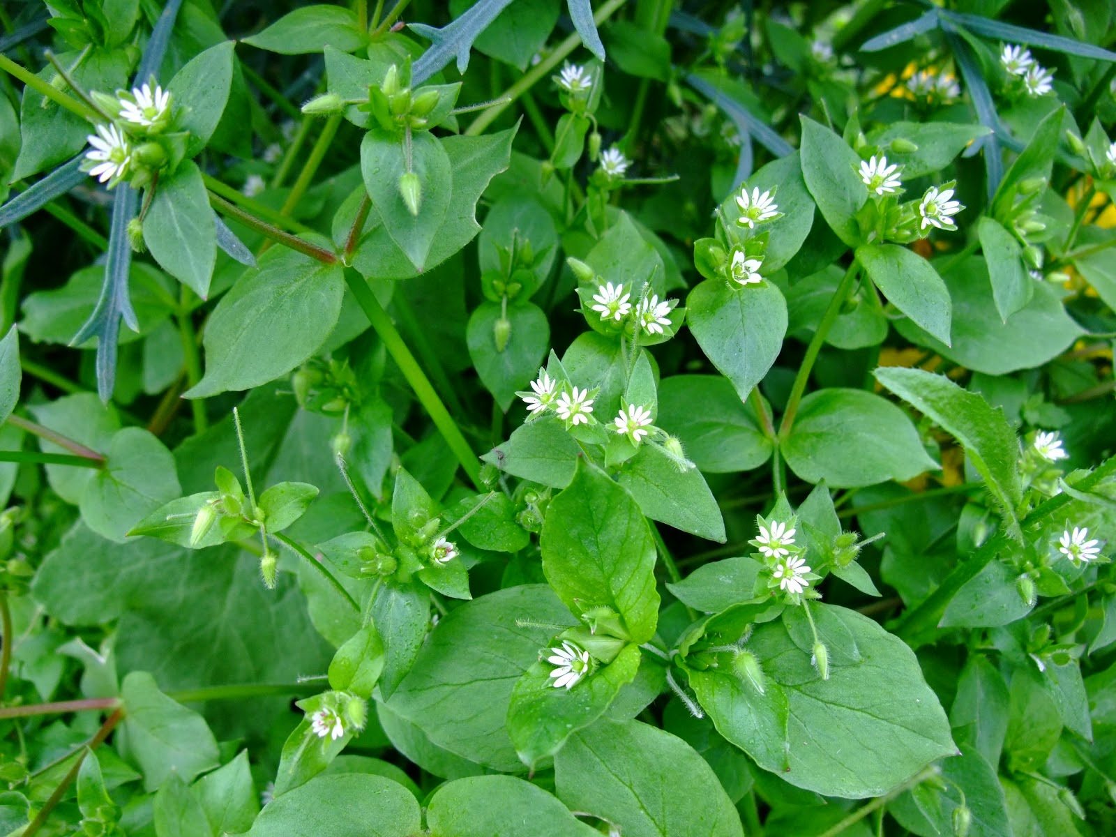 Benefits Of Chickweed (Stellaria Media) Herb For Health