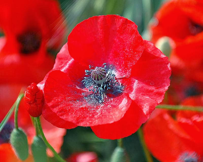 Our War A Symbol Of Remembrance Or Poppyganda