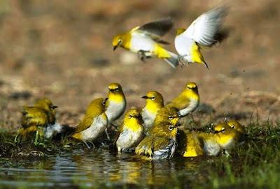 koloni pleci, burung kacamata