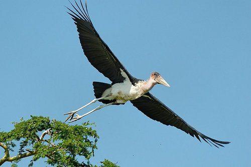10 Burung dengan Rentang Sayap Terlebar di Dunia