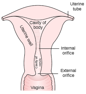 Uterus from Gray's Anatomy