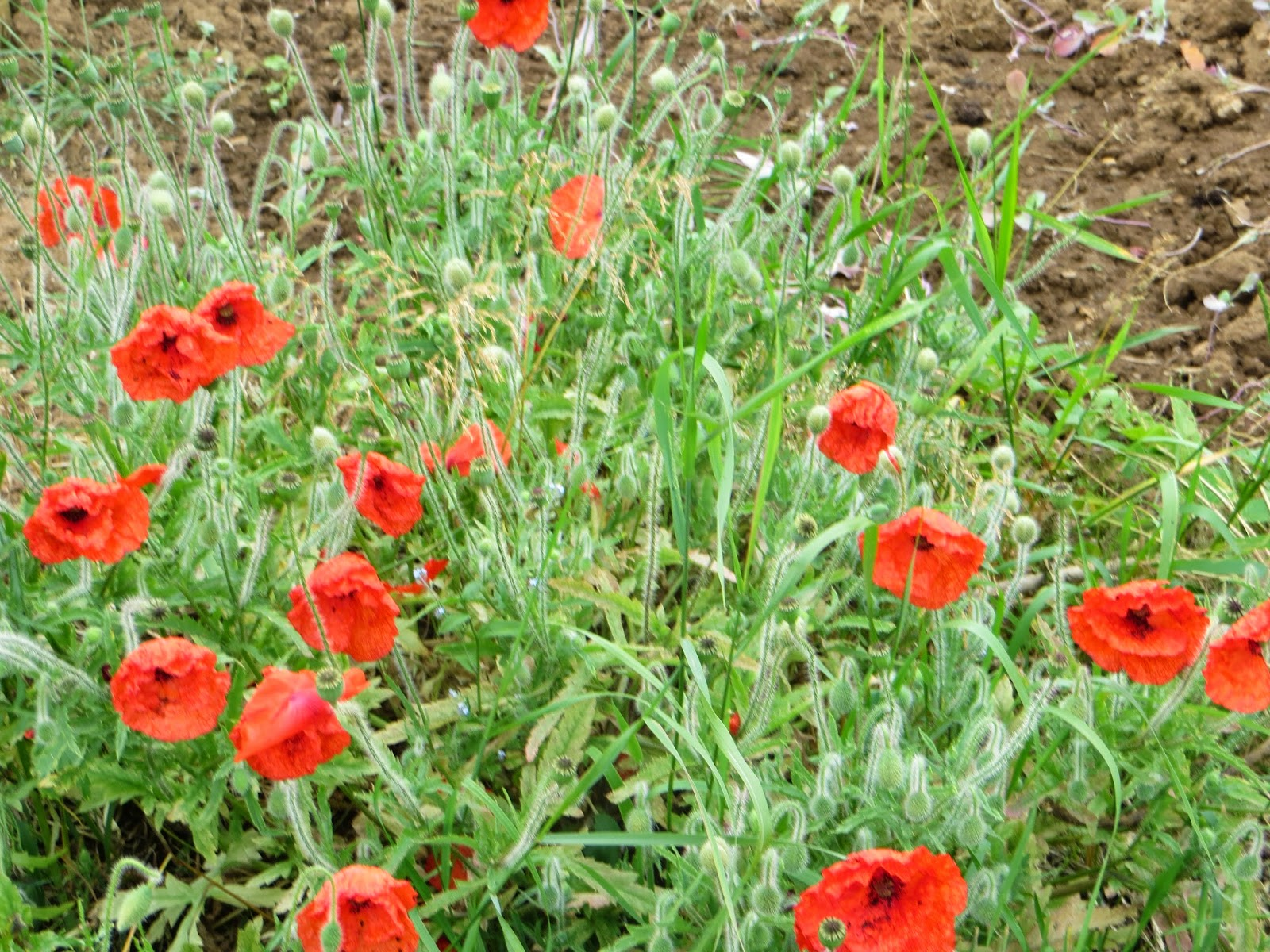 pretty wild red poppies