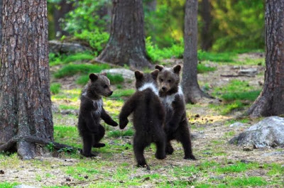 http://www.nydailynews.com/news/world/ring-rosie-cute-brown-bear-cubs-play-finland-forest-article-1.1525187