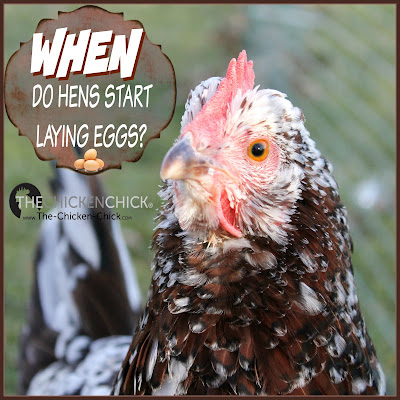 Here are general guidelines for what to watch for and how to help prepare a chicken to lay her first egg.