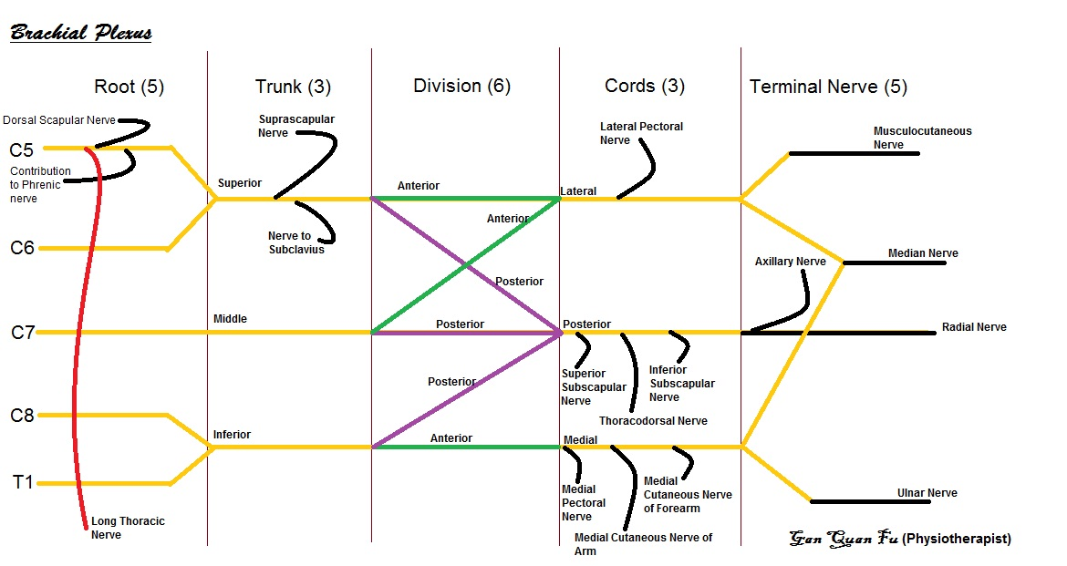brachial plexus schematic - photo #20