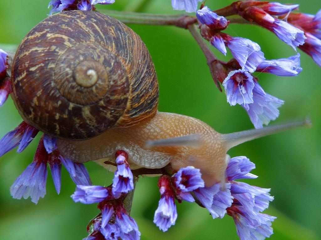 Snail Steno