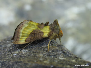 Grönglänsande metallfly Diachrysia chrysitis