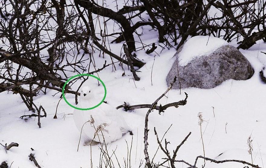 http://photobagh.blogspot.com/2013/09/golden-eagle-attacking-deer-unbeliveable-pictures.html