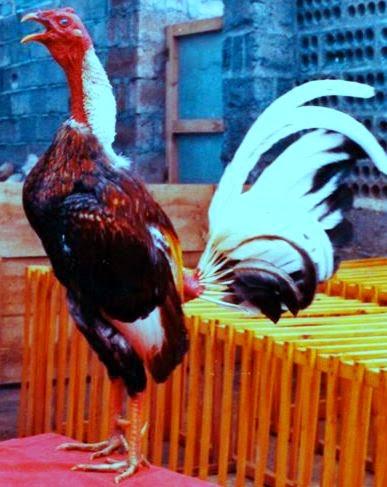 gallo español