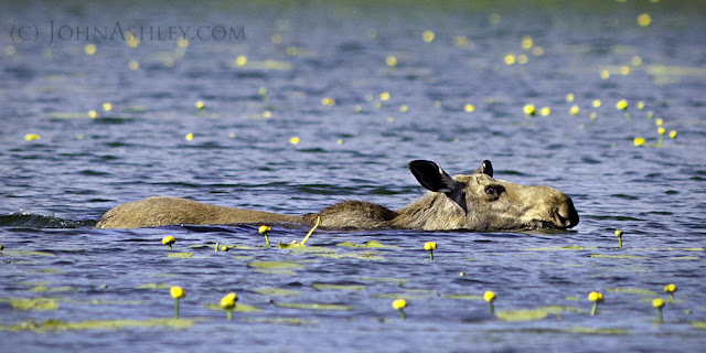 Moose swimming (c) John Ashley