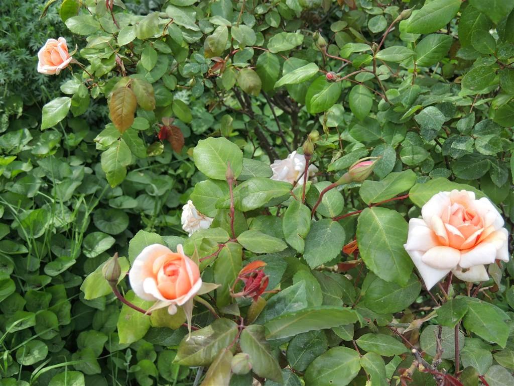Pensieri in forma di rosa il giardino delle rose - Il giardino delle rose ...